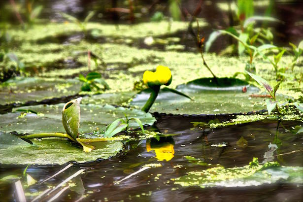 Honey Island Swamp Tour - Monet lily pads