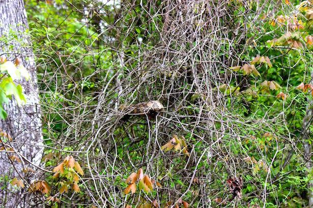 Honey Island Swamp Tour - Snakes