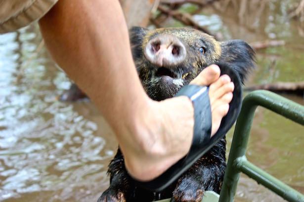 Honey Island Swamp Tour - Wild Boar