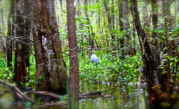 Honey Island Swamp Tour - Blue Heron