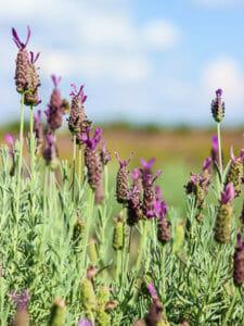 Texas Blanco Lavender