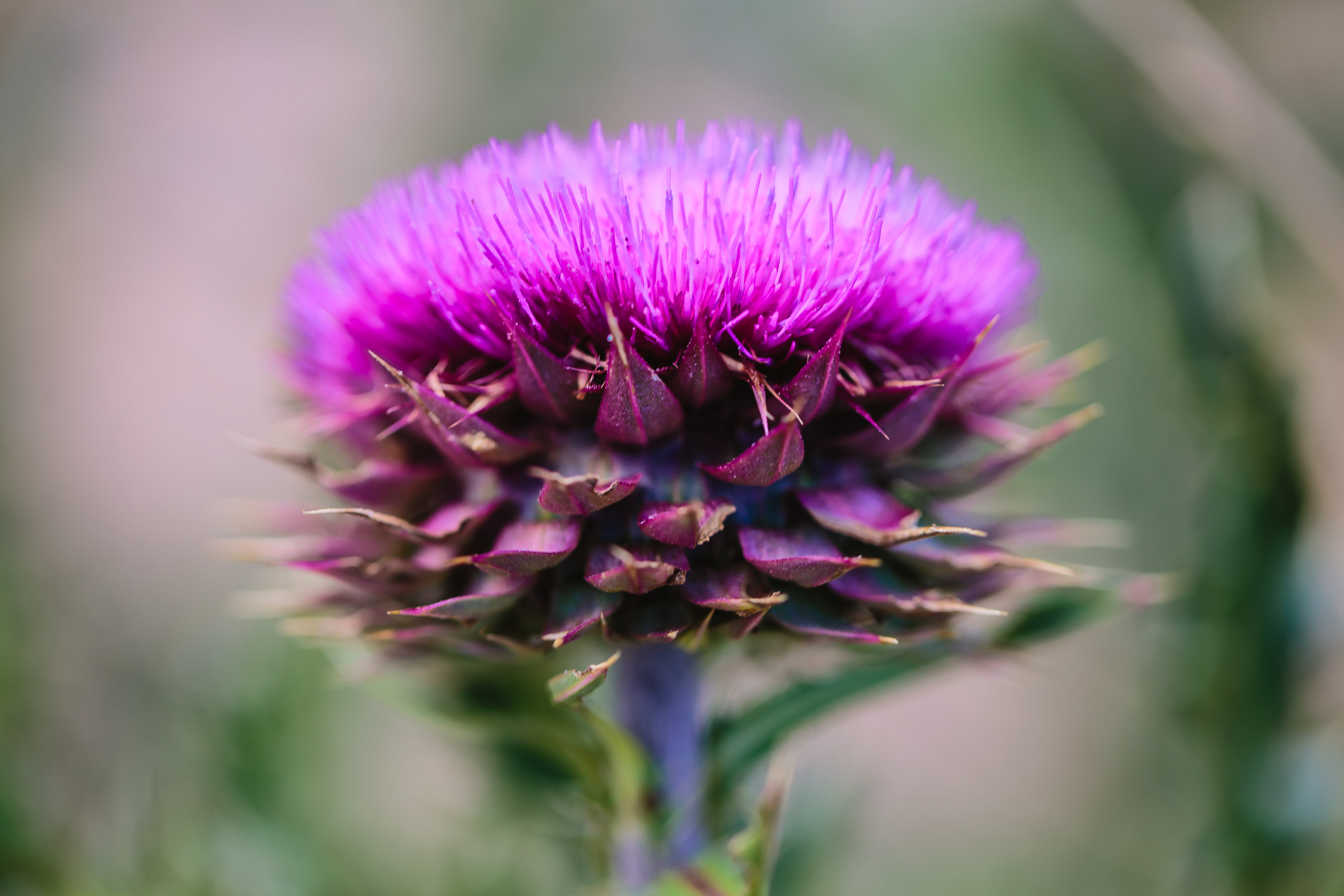 Ruidoso - New Mexico - Thistle
